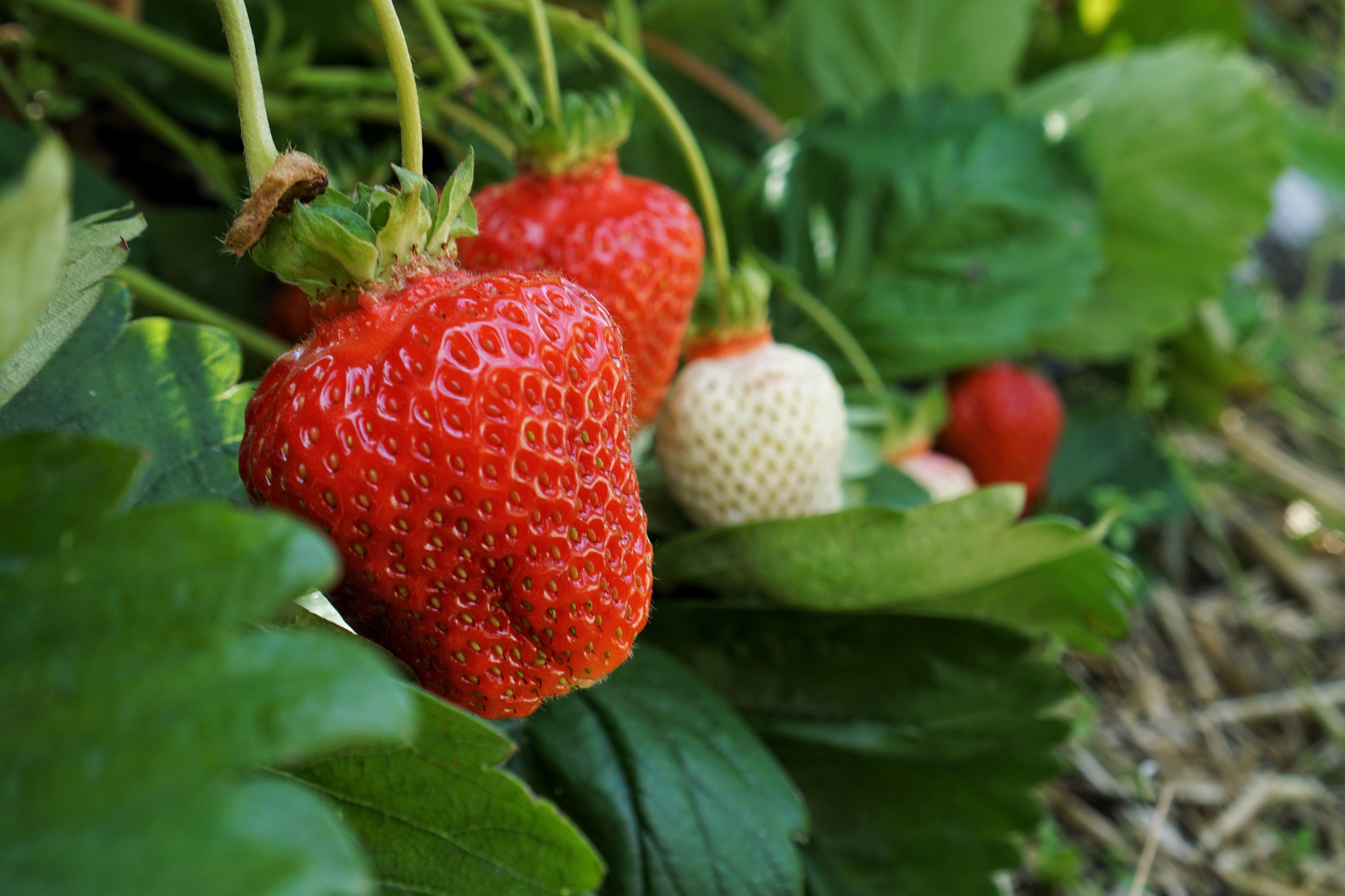 Erdbeeren auf einem Erdbeerfeld zum selber pflücken.